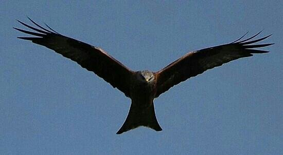 Pwllgwilym B&B and Barn Holiday Cottages: Red Kite at nearby Rhayader