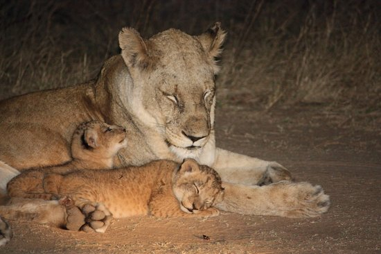 Lukimbi Safari Lodge : Lion with cubs