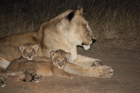 Lukimbi Safari Lodge : Mom & cubs