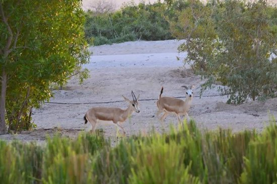 Anantara Sir Bani Yas Island Al Yamm Villa Resort : Sunset brings the gazelle out every time.