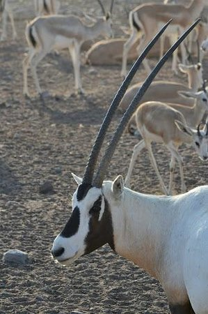 Anantara Sir Bani Yas Island Al Yamm Villa Resort : The majestic and elusive oryx.