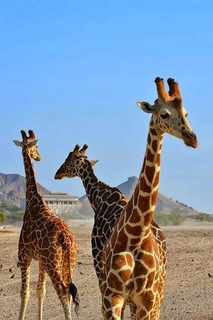 Anantara Sir Bani Yas Island Al Yamm Villa Resort : Up close & personal.