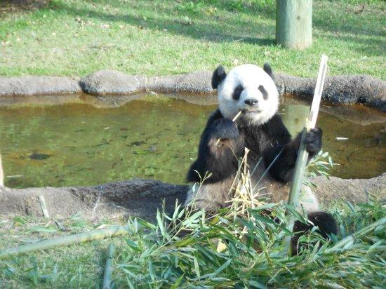 Days Inn Memphis - I40 and Sycamore View: Panda at Memp Zoo
