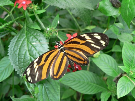 The Butterfly and Orchid Garden : Tiger Heliconia
