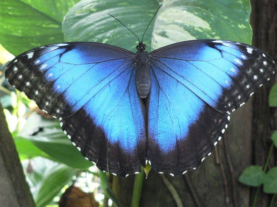 The Butterfly and Orchid Garden : Beautiful irridescent blue Morpho