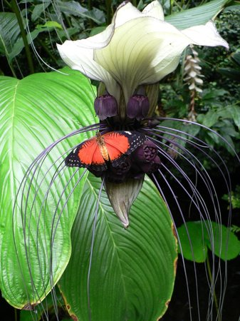 The Butterfly and Orchid Garden : Lace wing on our strange and wonderful white batflower