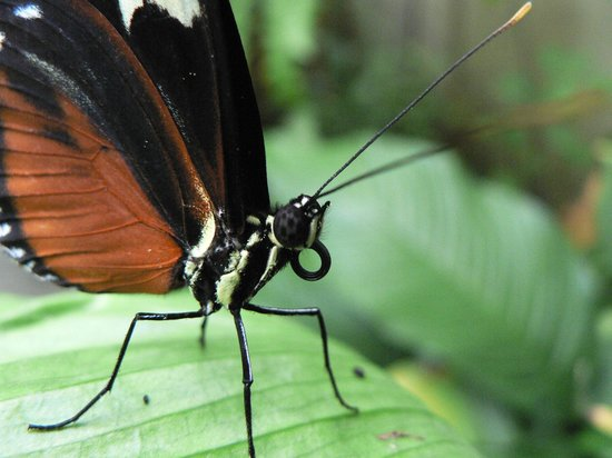 The Butterfly and Orchid Garden : Close up of a Long wing