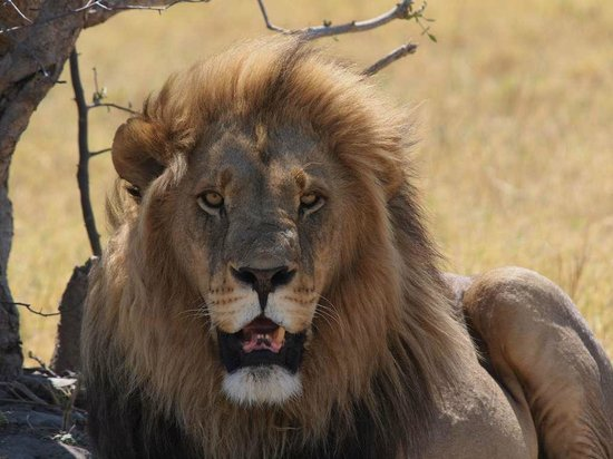 Sango Safari Camp : The first Lion