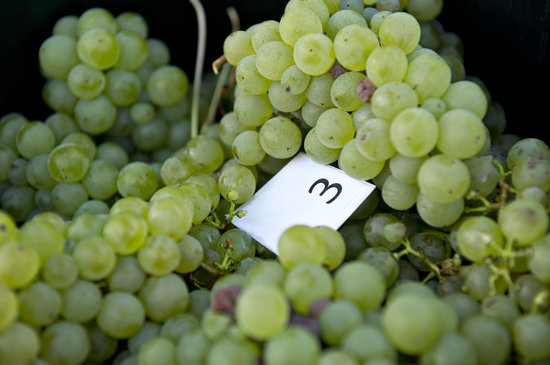 Brown Hill Estate: FRESHLY PICKED SAUVIGNON BLANC GRAPES