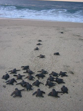Sea turtle release south beach Bungalows Lydia!