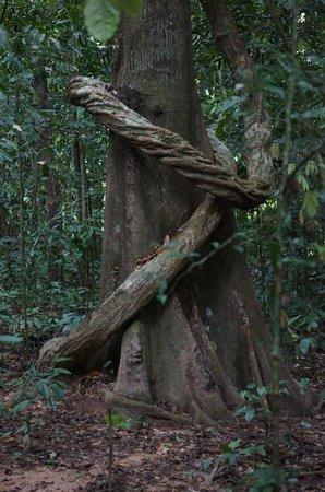 Earth Lodge Ulu Muda: Vine wrapped around a tree