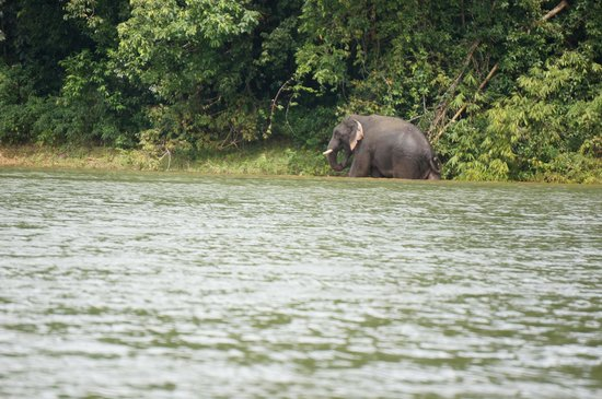 Earth Lodge Ulu Muda: Elephant having a bath
