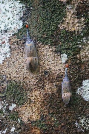 Earth Lodge Ulu Muda: Lantern bugs