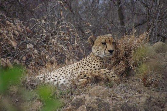 Pondoro Game Lodge: same cheetah