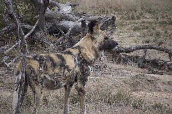 Pondoro Game Lodge: african wild dog
