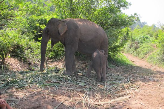 Elephant and her baby at Ban Xieng Lom