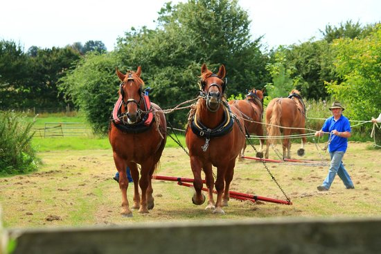 Rede Hall Farm: Suffolk Punch Horses - a treat to see