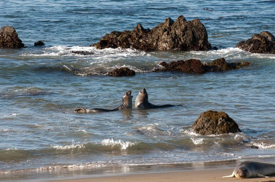 Elephant Seal Rookery : Playing in the water