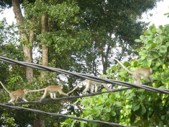 Anjungan Beach Resort: monkeys