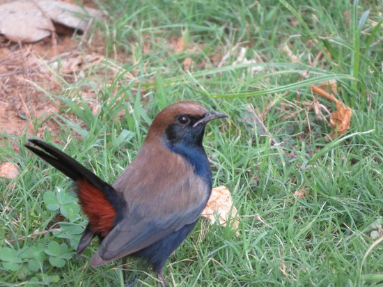 The Gateway Hotel Ramgarh Lodge Jaipur: Indian Robin in hotel grounds