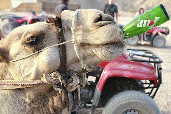 Sharm Touring Egypt - Day Tours: Camel Skills