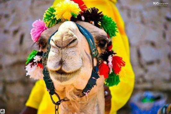 Sharm Touring Egypt - Day Tours: Camel Smile