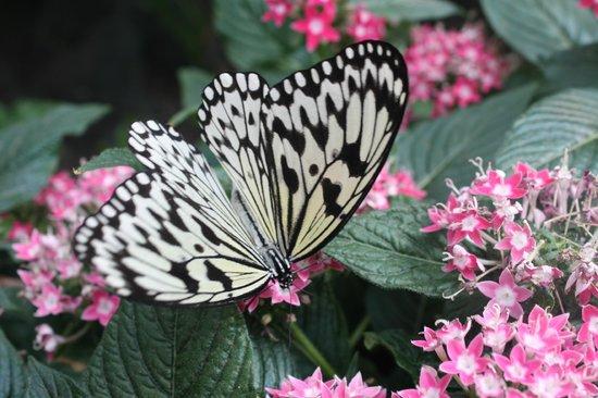 Jardin des Papillons: Тоже довольно крупная)
