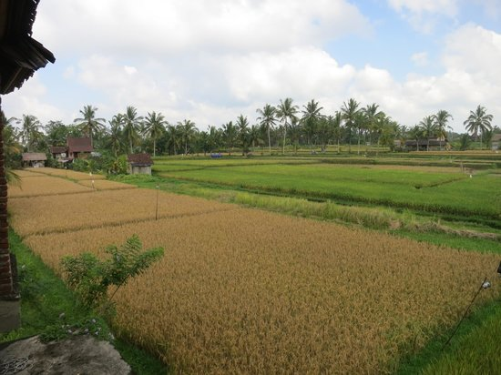 Nirwa Ubud Homestay : View of the rice fields from one of the balconies