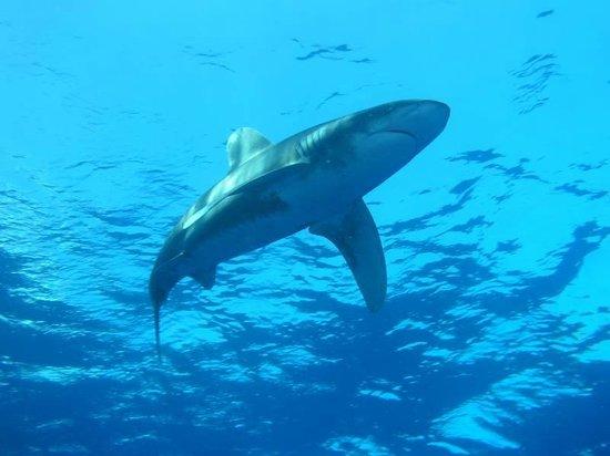 Elphinstone Reef : Elphinstone Shark