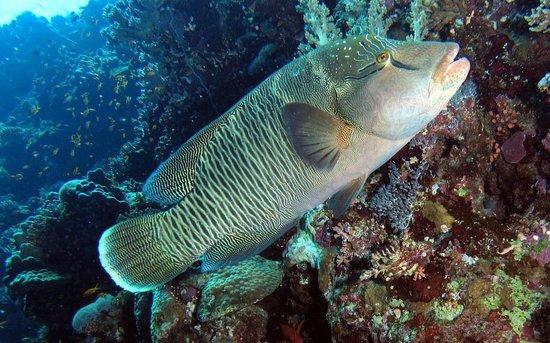 Elphinstone Reef : Napoleon Wrasse Elphinstone