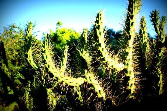 Palmizana Meneghello: Les cactés sur l'île Palmizana