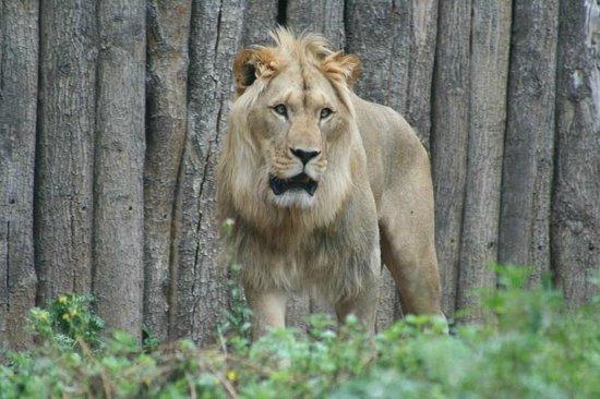 Zoopark Erfurt: Lion Exhibit