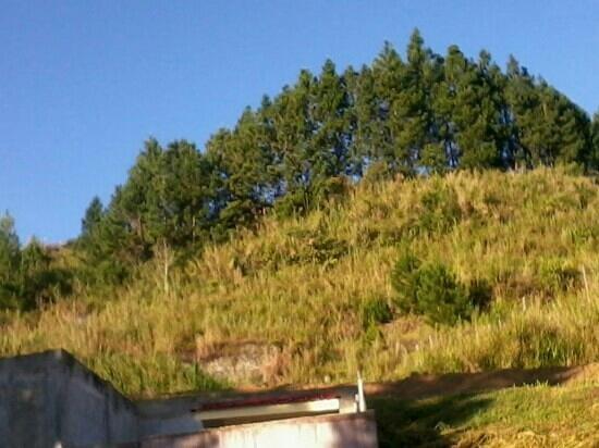 Kinabalu Pine Resort: Pokok pines di belakang hotel..