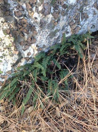 Arnold Rim Trail: ferns