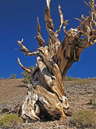 Ancient Bristlecone Forest: Many appear dead, but will have one small living branch.