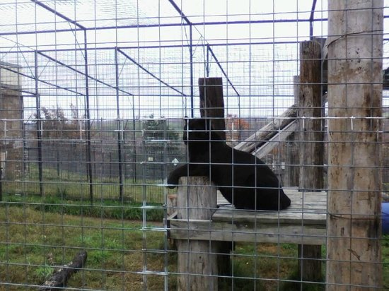 Turpentine Creek Wildlife Refuge: This big black cat seemed to pose for us at the end of our walking tour.T