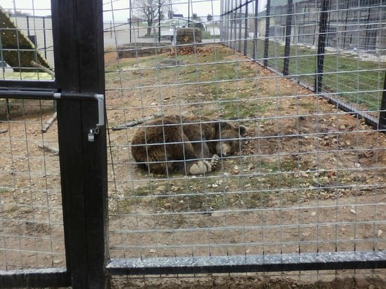 Turpentine Creek Wildlife Refuge: A bear snoozes in his new digs at the refuge.