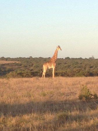 Burlington Game Farm: Giraffe