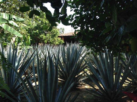 Puerto Vallarta Mama Lucia Tequila Tour: Blue Agave plant