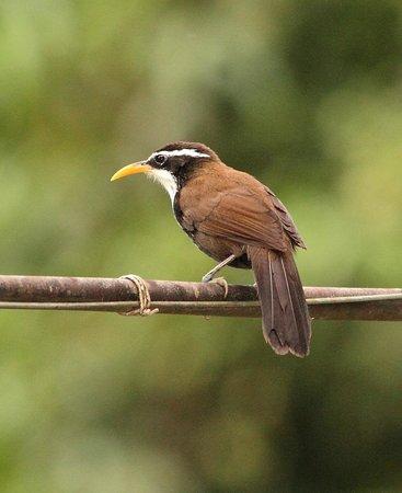 The Shade: Indian Scimitar Babbler