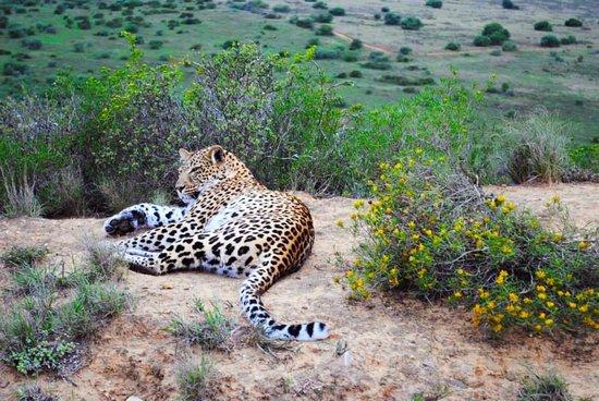 Quatermains 1920s Safari Camp: A stunning leopard only 5 feet away.