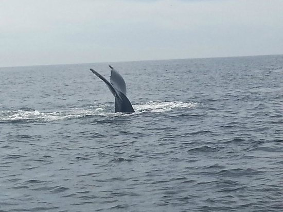 Sanctuary Cruises: Humpback whale about to dive deep