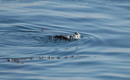 Monterey Plaza Hotel & Spa : Sea otter (taken from our balcony)