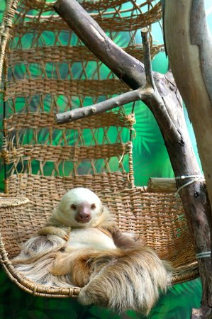Sloth Sanctuary of Costa Rica (Aviarios del Caribe): Millie, looking regal