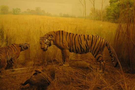 The Field Museum: Чучело тигра