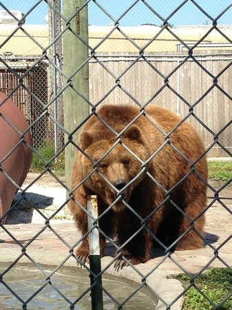 Big Cat Habitat and Gulf Coast Sanctuary: Grizzly