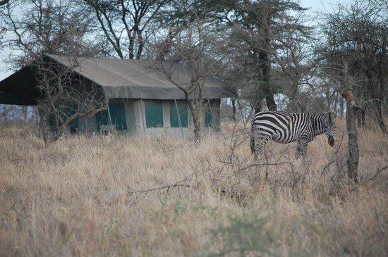 Serengeti Wild Camp: Zebra visiting the Serengeti Wildcamp