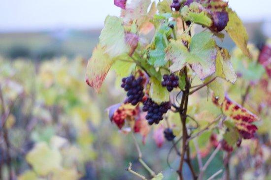 La Vigne du Roy Champagne Day Tours : Grapes after harvest