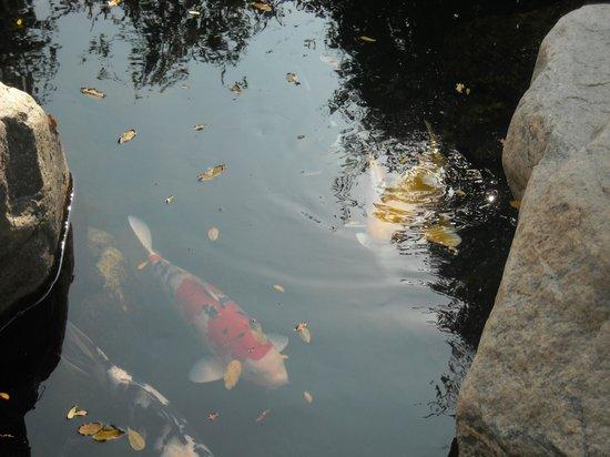 Japanese Friendship Garden: Koi Pond