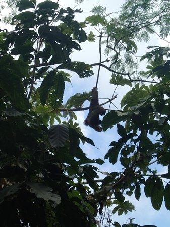 Jungle ATV Quad Tours: sloth Deigo pointed out